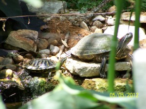 Turtles in Stream and Pond