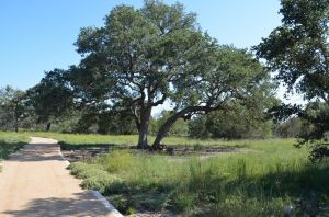 Native Evergreen Oak Tree