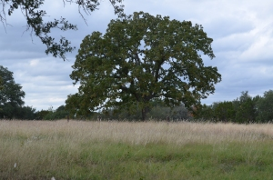 A fine old Evergreen Oak