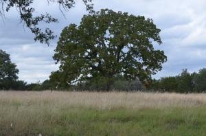 A fine old Evergreen Oak