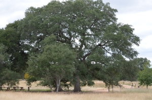 Grand old oak tree