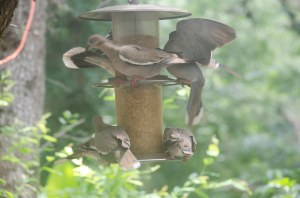 Doves on a Feeder