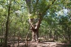Very Large Pecam Tree