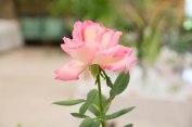 AAGC Flower Show Rose