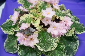 AAGC Flower Show Violet