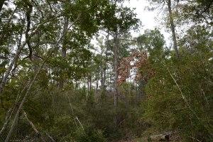 Pine Tree at Buescher State Park