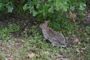 Rabbit at McKinney