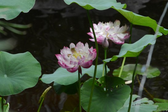 A beautiful Lotus