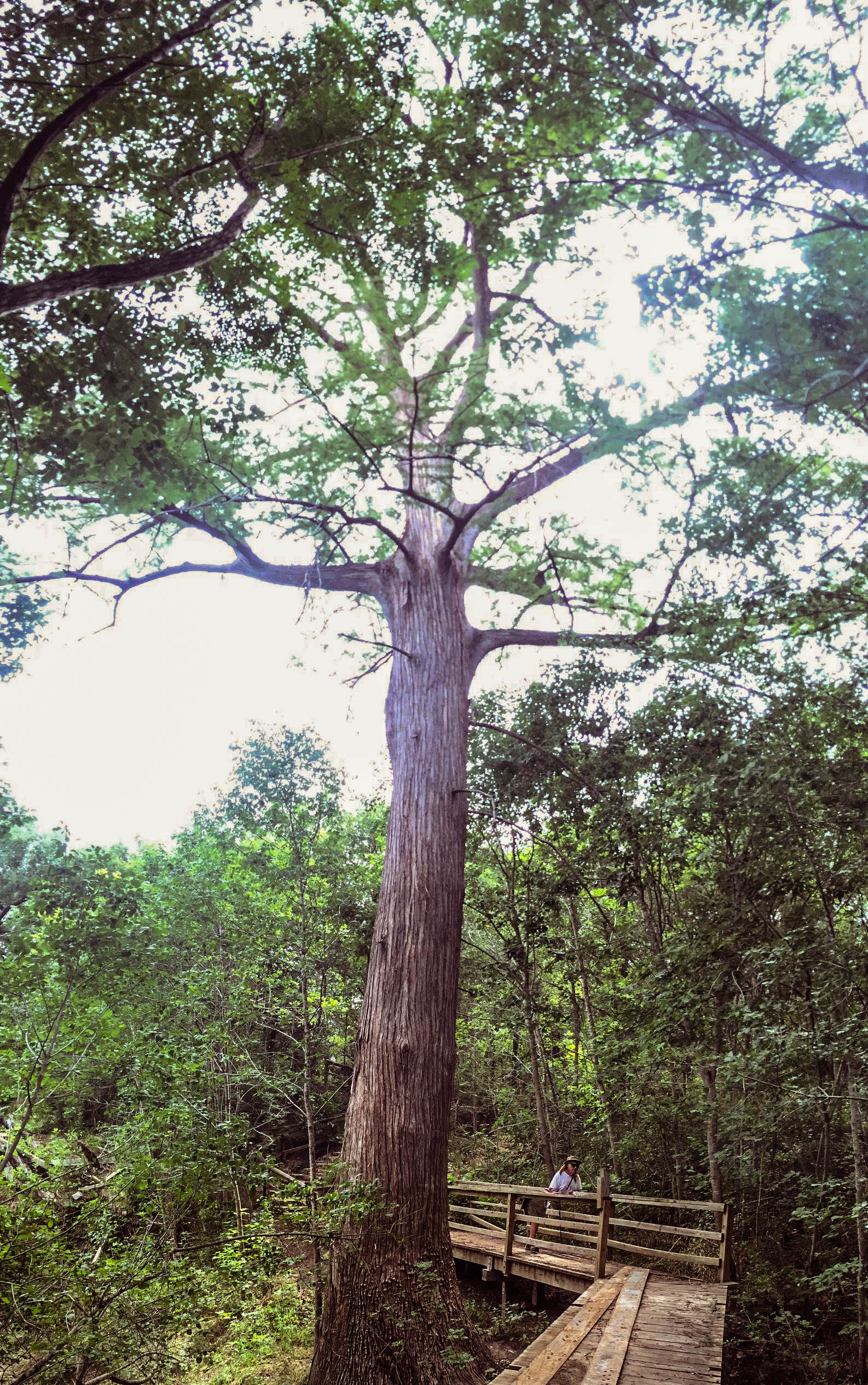 Spruce tree at McKinney