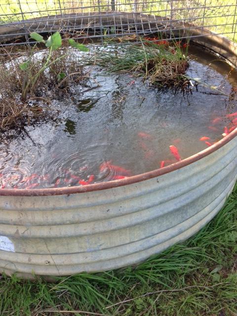 goldfish2 (002)