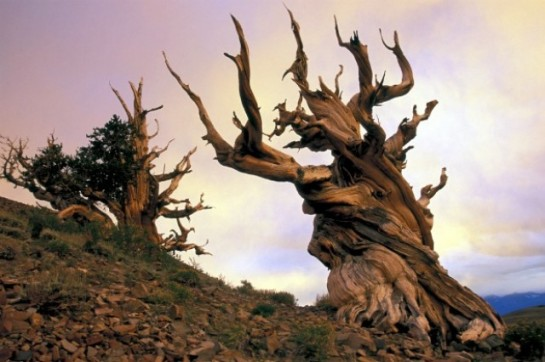 Top-10-Oldest-Historical-Trees-in-the-World1