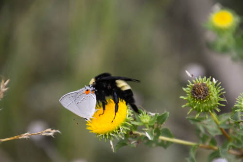 Butterfly and Bee Sharing a flower